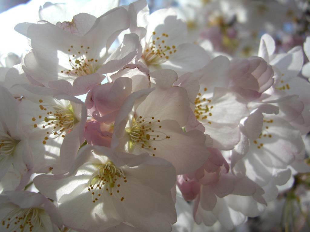 ポトマック桜