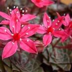 CASIO EX-Z1000で撮影した植物(群生セブンスタ-)の写真(画像)