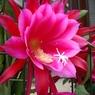 CASIO EX-Z1000で撮影した植物(クジャクサボテン)の写真(画像)