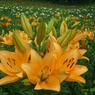 CASIO EX-Z1000で撮影した植物(ゆり園)の写真(画像)
