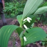 CASIO EX-Z1000で撮影した植物(ナルコユリ)の写真(画像)