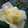 CASIO EX-Z1000で撮影した植物(白バラ)の写真(画像)
