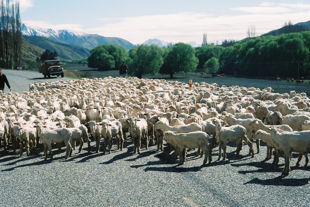 羊たち優先