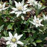CASIO EX-Z1000で撮影した植物(レブンウスユキソウ)の写真(画像)