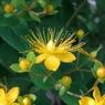 CASIO EX-Z1000で撮影した植物(ヒペリカム・アンドロサエマム)の写真(画像)