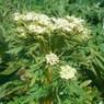 CASIO EX-Z1000で撮影した植物(オオカサモチ)の写真(画像)