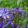 CASIO EX-Z1000で撮影した植物(アガパンサス)の写真(画像)