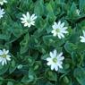 CASIO EX-Z1000で撮影した植物(シコタンハコベ)の写真(画像)