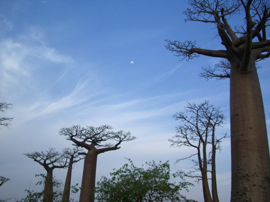 月とバオバブ