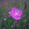 CASIO EX-Z1000で撮影した植物(赤花夕化粧)の写真(画像)