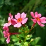 CASIO EX-Z1000で撮影した植物(桜草)の写真(画像)