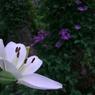 CASIO EX-Z1000で撮影した植物(ユリ)の写真(画像)