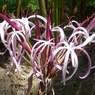 CASIO EX-Z1000で撮影した植物(マダガスカルの花)の写真(画像)