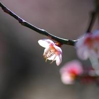 PENTAX PENTAX K200Dで撮影した植物(梅日和1)の写真(画像)