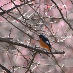 NIKON NIKON D300で撮影した動物(梅と鳥)の写真(画像)