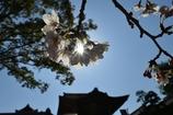 京都のサクラ