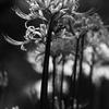 彼岸花と蟷螂