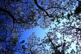 初夏のさくら(八重桜)