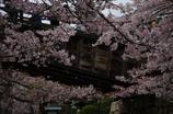 桜吹雪2088