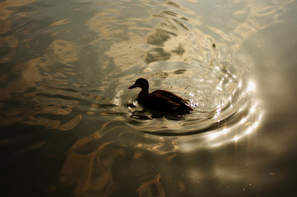 水鳥と波紋