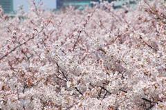 桜のうみ2