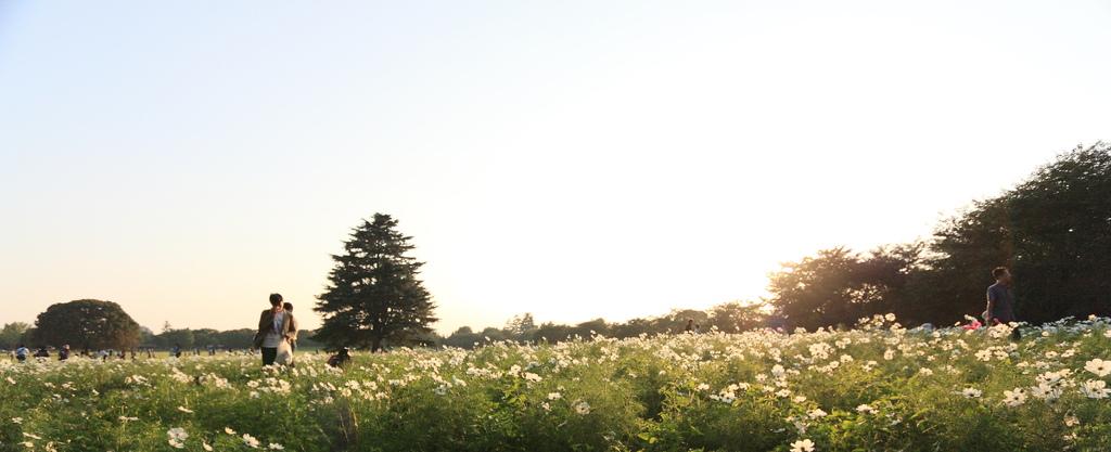 コスモス畑にて