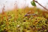 奥入瀬の苔