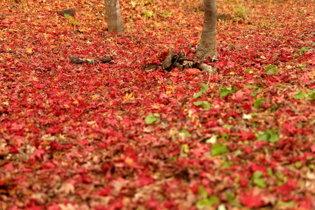 フワフワ落葉