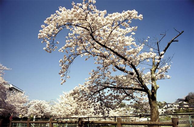 鴻ノ池の桜2005