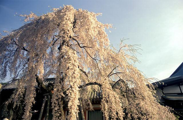 氷室神社の桜2005