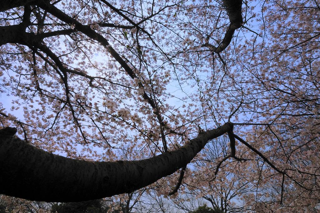 桜♪(コブクロ)