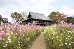 秋桜の小径