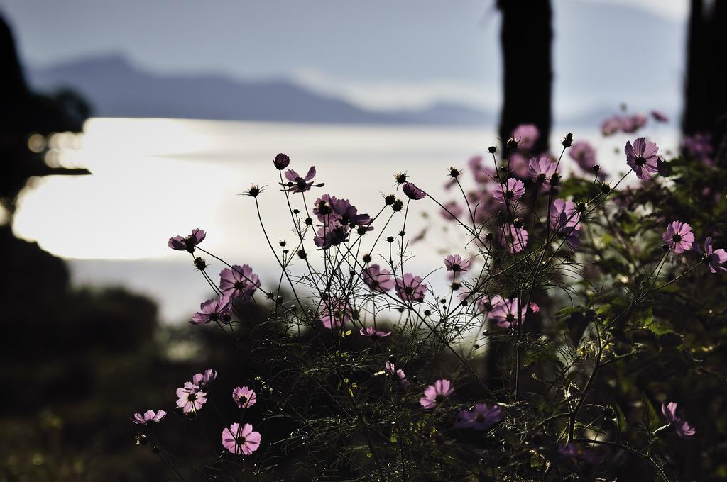 湖畔のコスモス