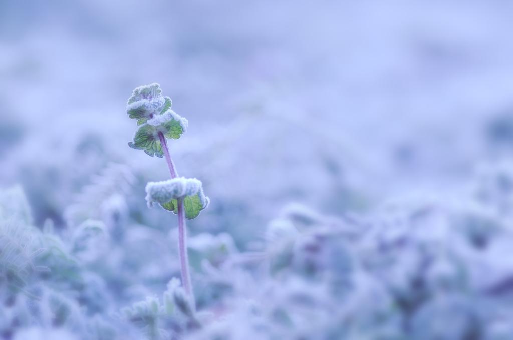 霜帯びる朝