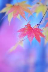 紅葉IMAGE2