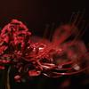 マンジュシャゲ 「紅蓮の彩り」