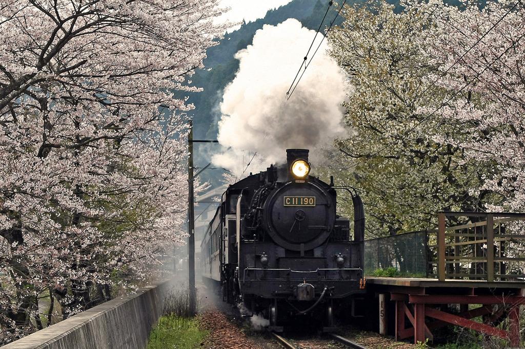 大井川鉄道SLと桜