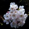 寄り添って綺麗に桜