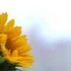 梅雨空向日葵