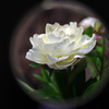 手鏡の中の芍薬4
