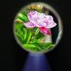 シリーズ・・手鏡の中の芍薬 1