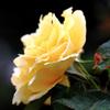 雨中の黄色い薔薇