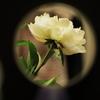 シリーズ・・手鏡の中の芍薬5