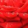 雨中の赤い薔薇