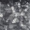 庭のドクダミ