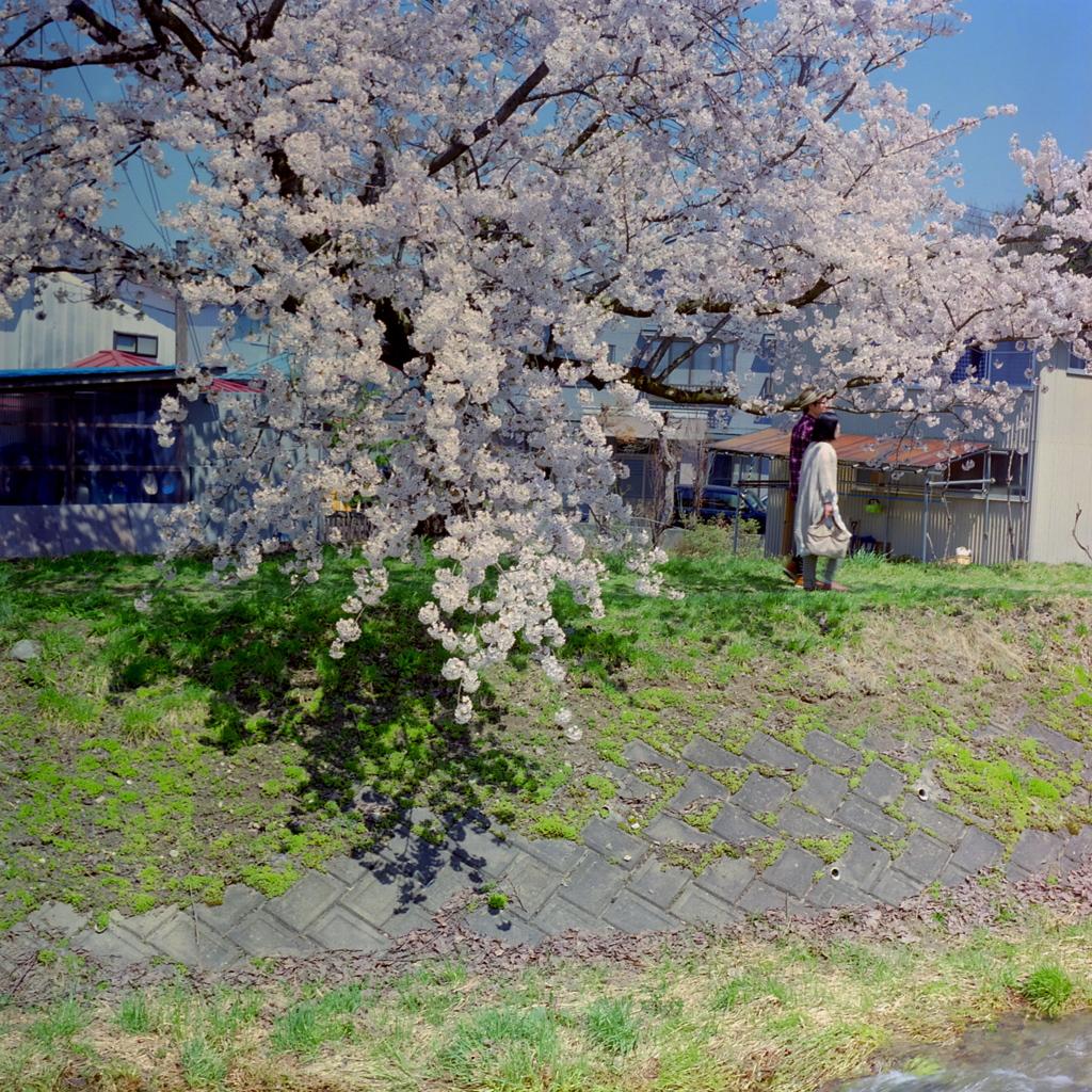 福島 観音寺川の桜 ④