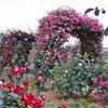 梨園のバラ 2018⑨