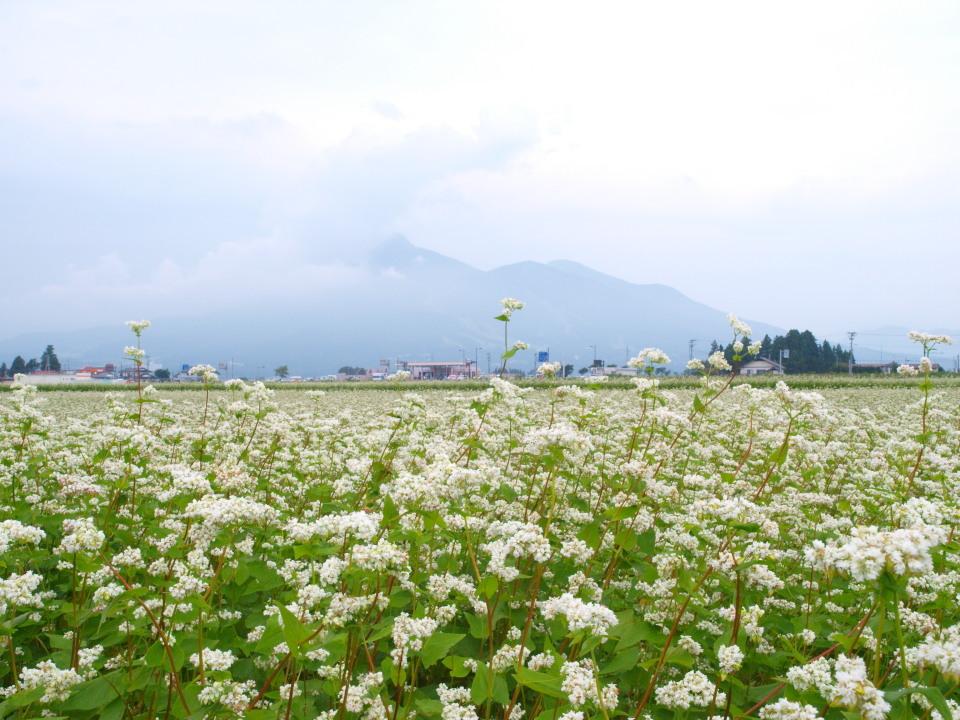 磐梯山とソバの花