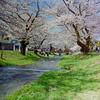 福島 観音寺川の桜 ①
