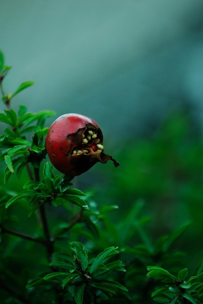 かじられた果実
